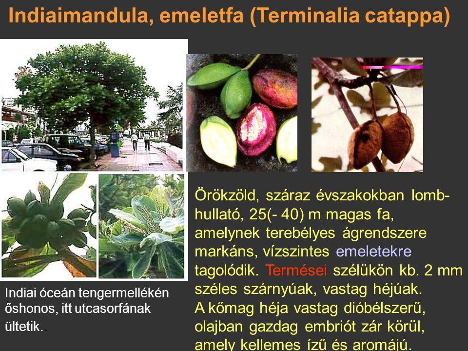 Indiaimandula, emeletfa (Terminalia catappa)