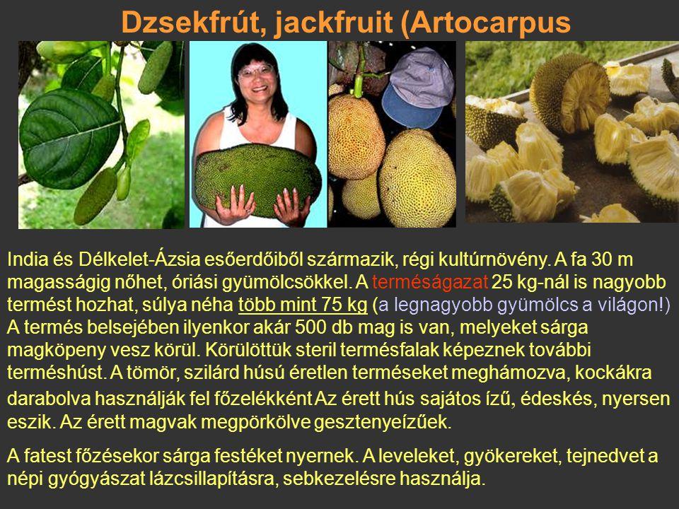 Dzsekfrút, jackfruit (Artocarpus heterophyllus)