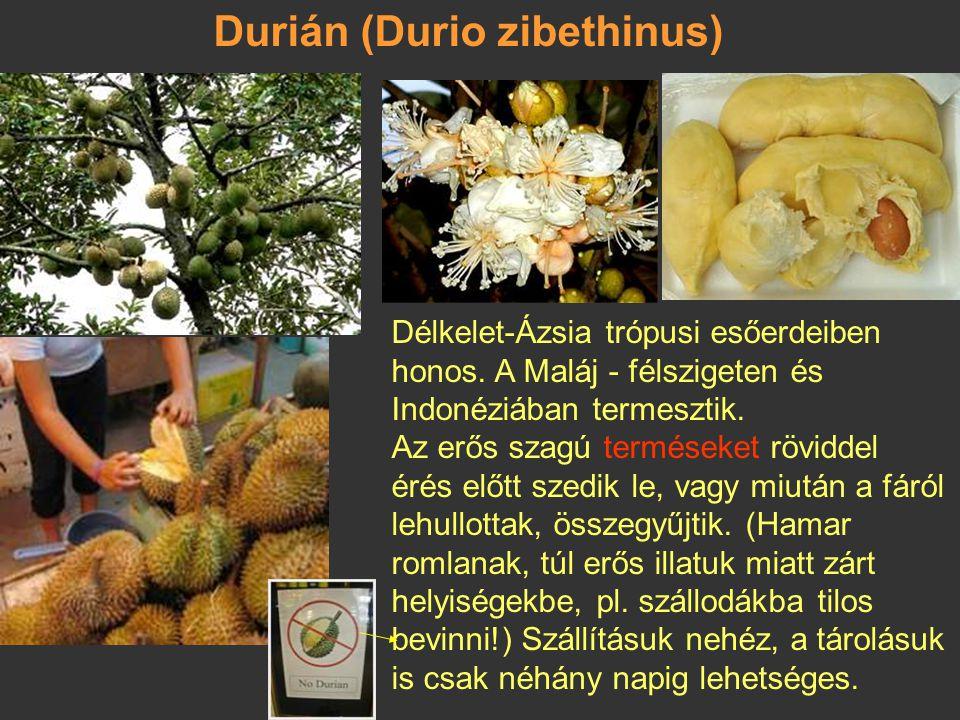 Durián (Durio zibethinus)