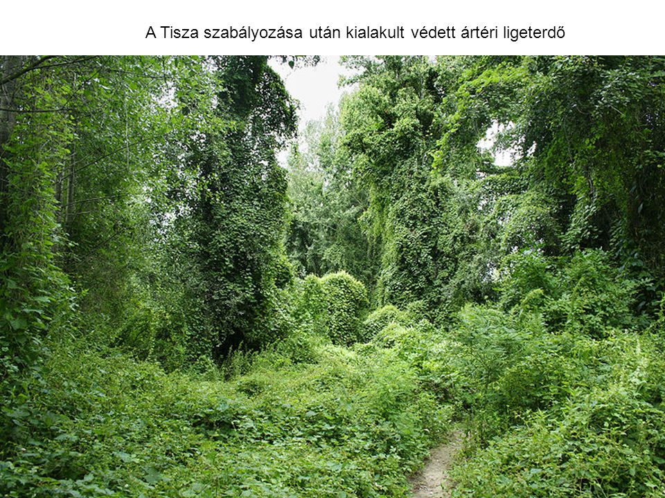 A Tisza szabályozása után kialakult védett ártéri ligeterdő
