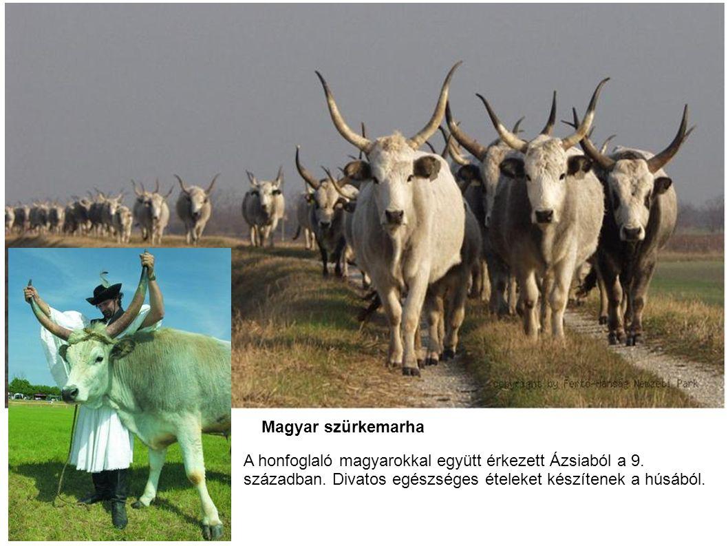 Magyar szürkemarha A honfoglaló magyarokkal együtt érkezett Ázsiaból a 9.