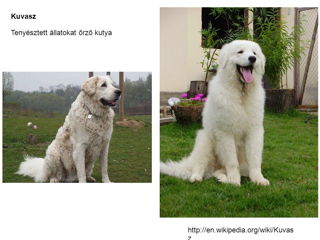 Kuvasz Tenyésztett állatokat őrző kutya http://en.wikipedia.org/wiki/Kuvasz