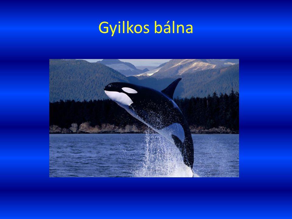 Gyilkos bálna