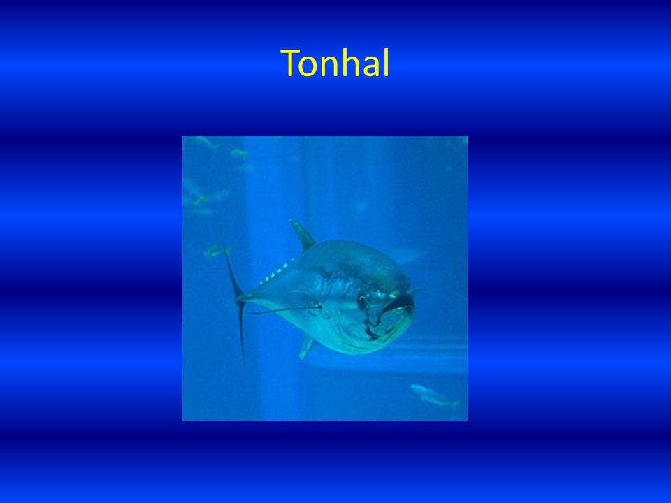Tonhal