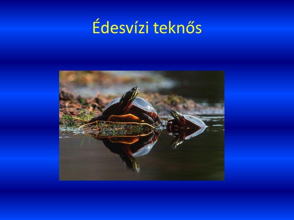 Édesvízi teknős