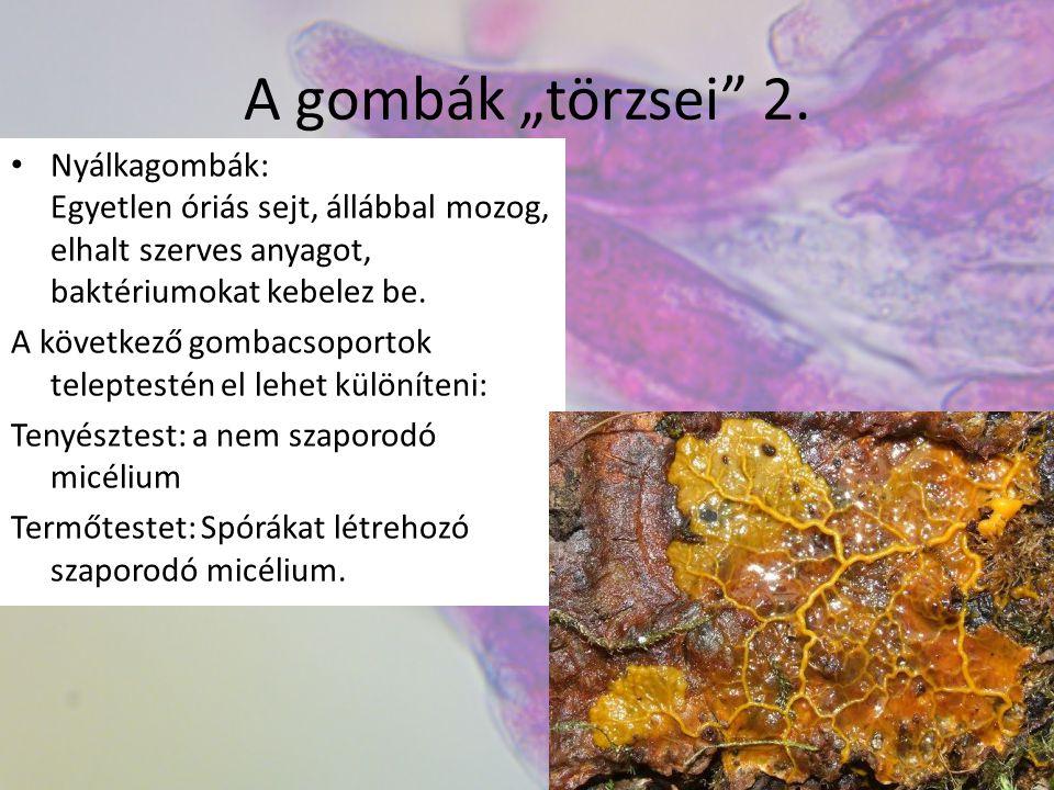"""A gombák """"törzsei 2. Nyálkagombák: Egyetlen óriás sejt, állábbal mozog, elhalt szerves anyagot, baktériumokat kebelez be."""