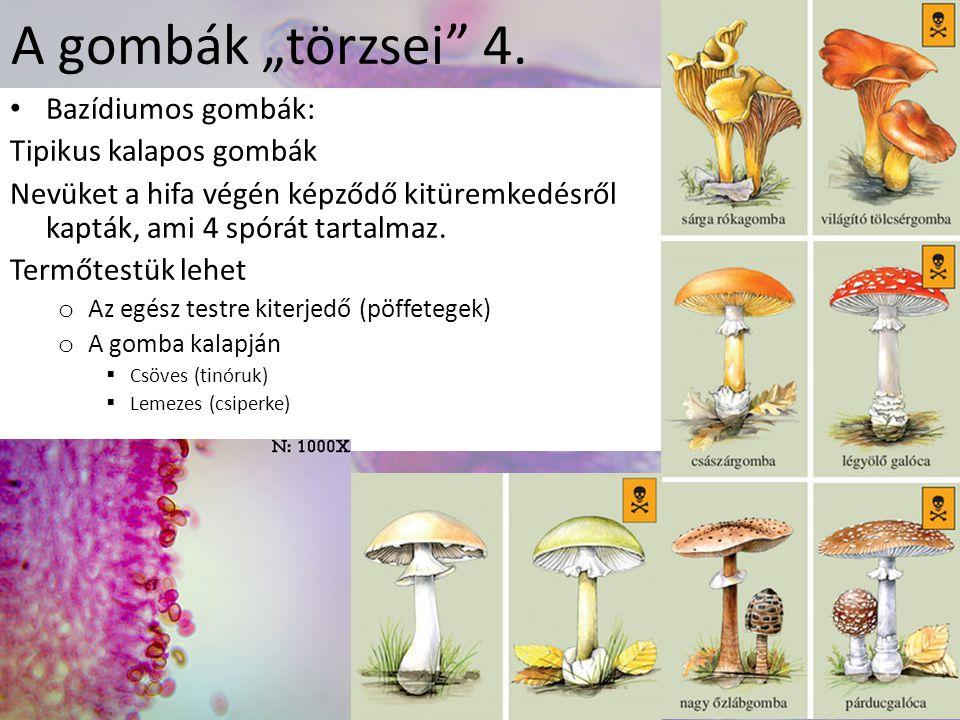 "A gombák ""törzsei 4. Bazídiumos gombák: Tipikus kalapos gombák"