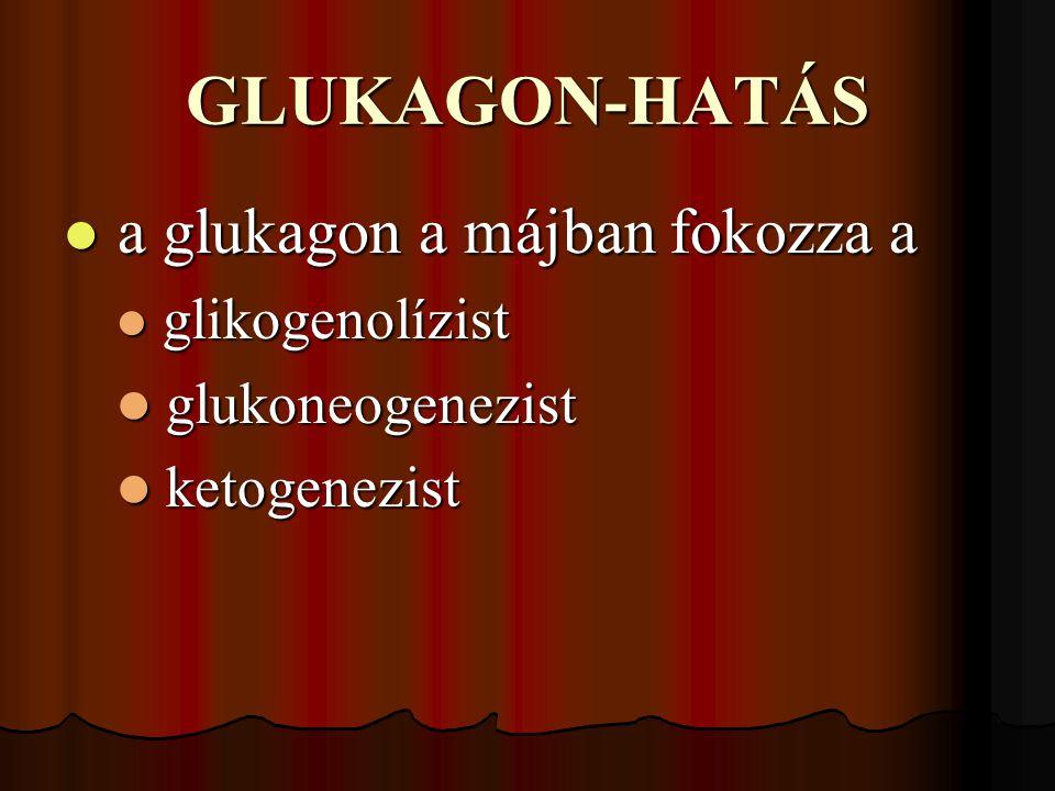 GLUKAGON-HATÁS a glukagon a májban fokozza a glukoneogenezist