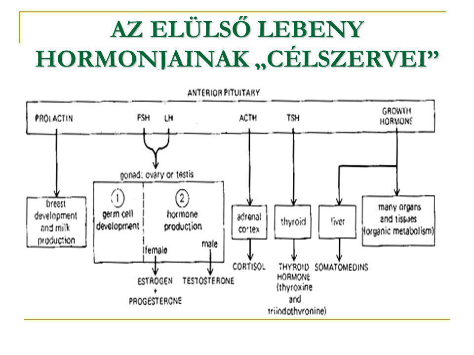 """AZ ELÜLSŐ LEBENY HORMONJAINAK """"CÉLSZERVEI"""