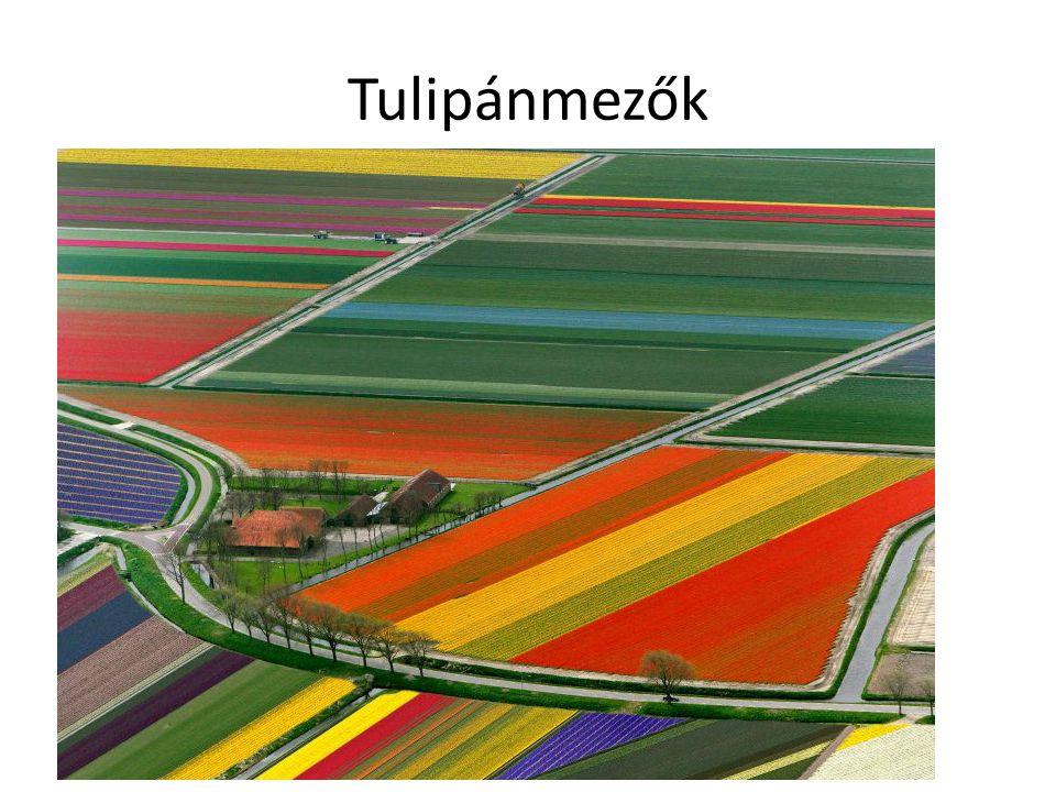 Tulipánmezők
