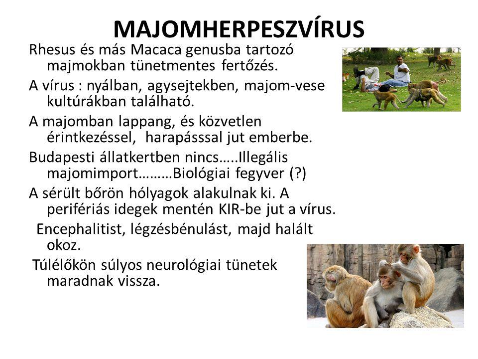 MAJOMHERPESZVÍRUS Rhesus és más Macaca genusba tartozó majmokban tünetmentes fertőzés.
