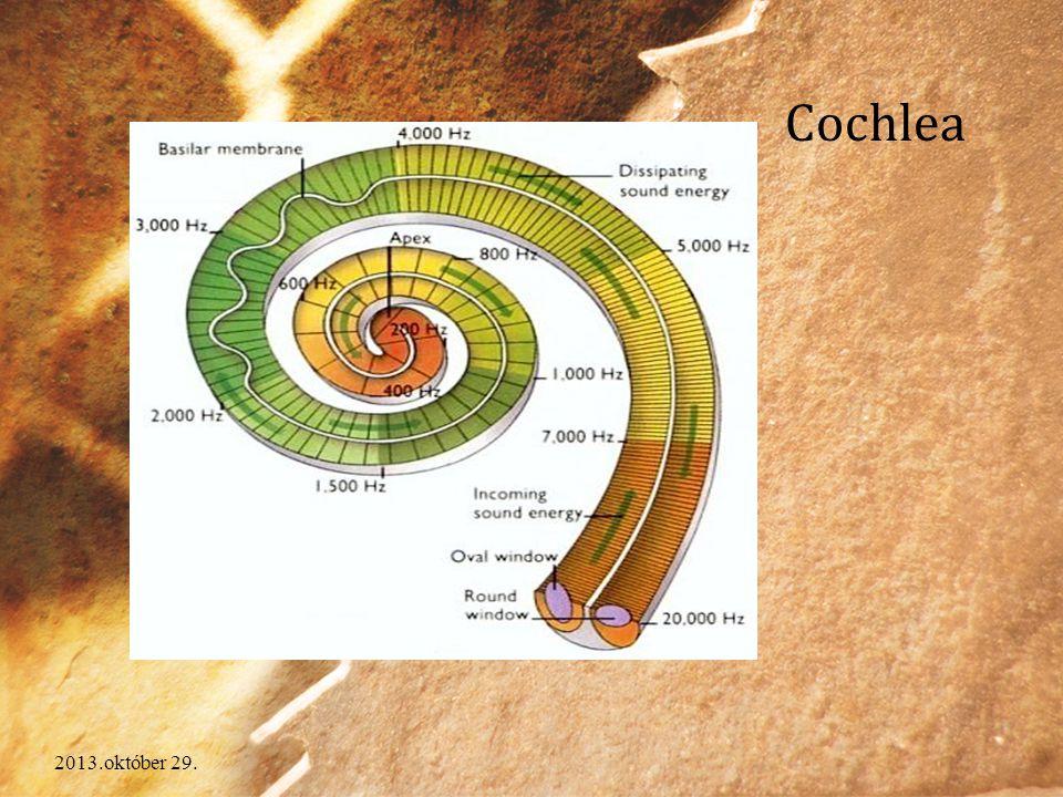 Cochlea A csiga egy spirális felépítésű, üreges, csonttal burkolt szerv. Részei: