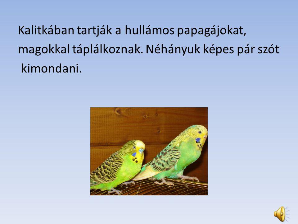 Kalitkában tartják a hullámos papagájokat, magokkal táplálkoznak