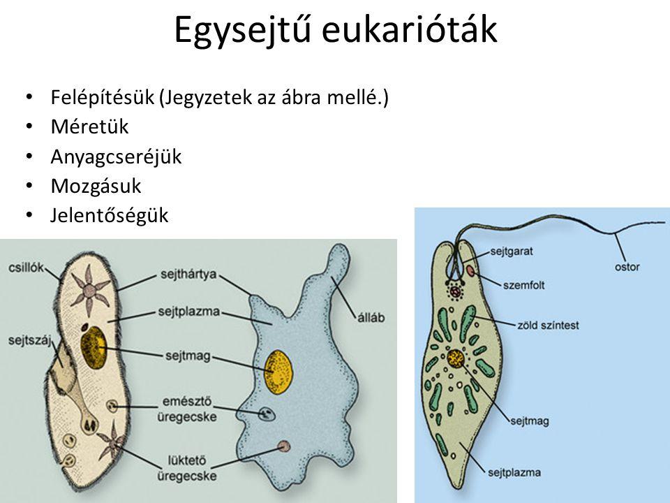 Egysejtű eukarióták Felépítésük (Jegyzetek az ábra mellé.) Méretük