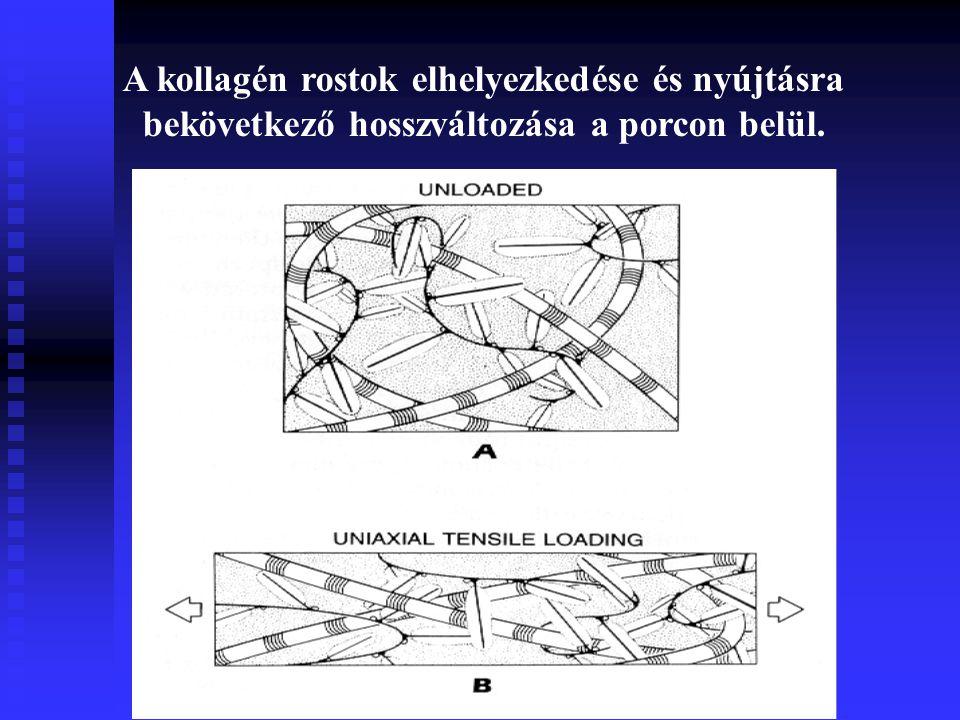 A kollagén rostok elhelyezkedése és nyújtásra bekövetkező hosszváltozása a porcon belül.