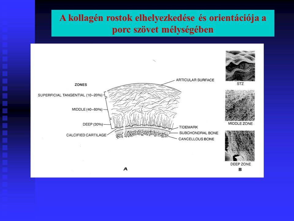 A kollagén rostok elhelyezkedése és orientációja a porc szövet mélységében