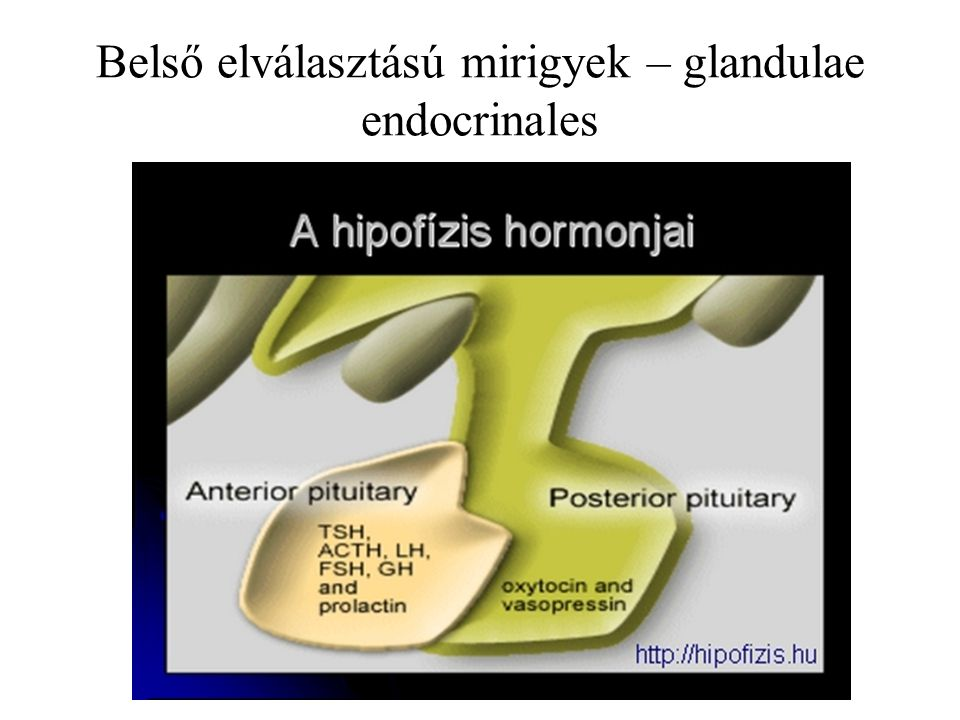 Belső elválasztású mirigyek – glandulae endocrinales