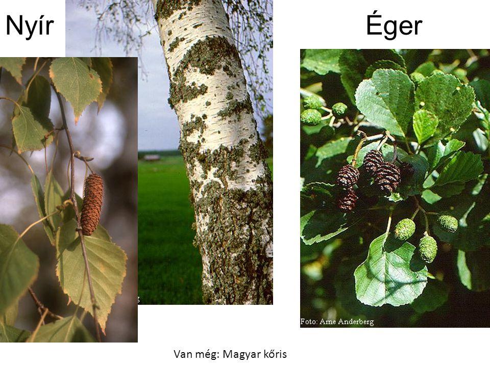 Nyír Éger Van még: Magyar kőris Bal oldal: Kozonseges nyir FakCD197