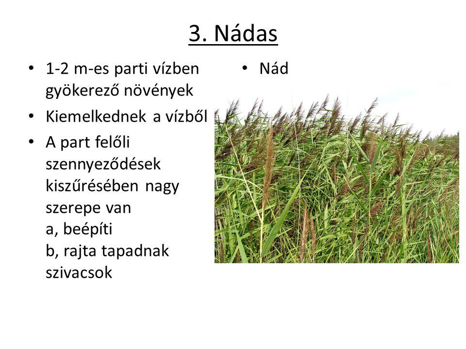 3. Nádas 1-2 m-es parti vízben gyökerező növények