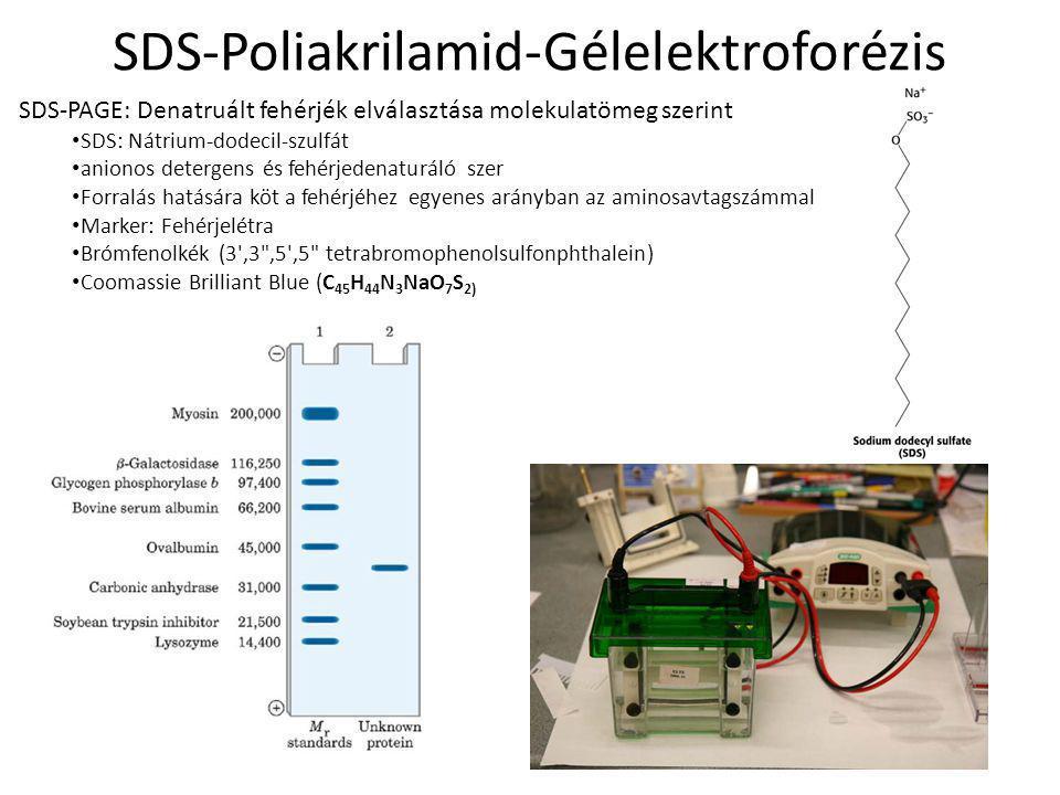 SDS-Poliakrilamid-Gélelektroforézis