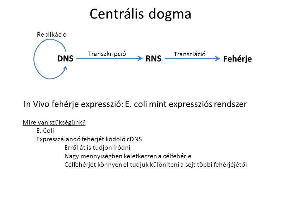 In Vivo fehérje expresszió: E. coli mint expressziós rendszer