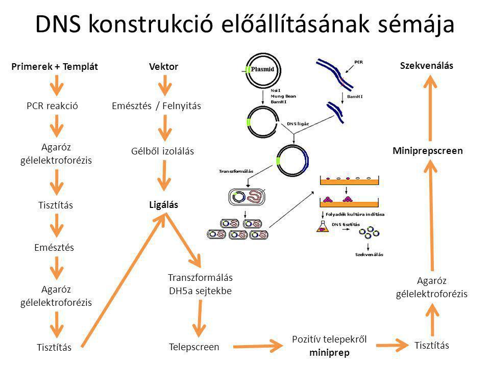 DNS konstrukció előállításának sémája