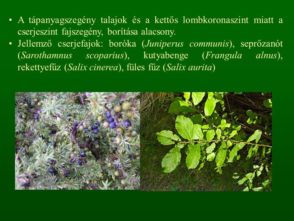 A tápanyagszegény talajok és a kettős lombkoronaszint miatt a cserjeszint fajszegény, borítása alacsony.