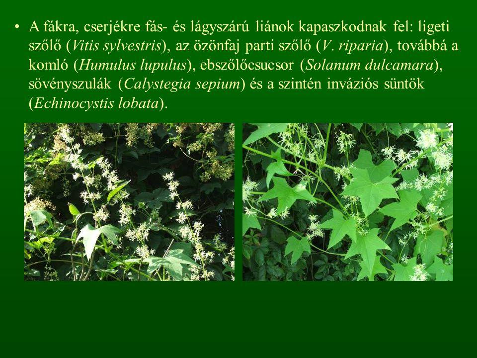 A fákra, cserjékre fás- és lágyszárú liánok kapaszkodnak fel: ligeti szőlő (Vitis sylvestris), az özönfaj parti szőlő (V.