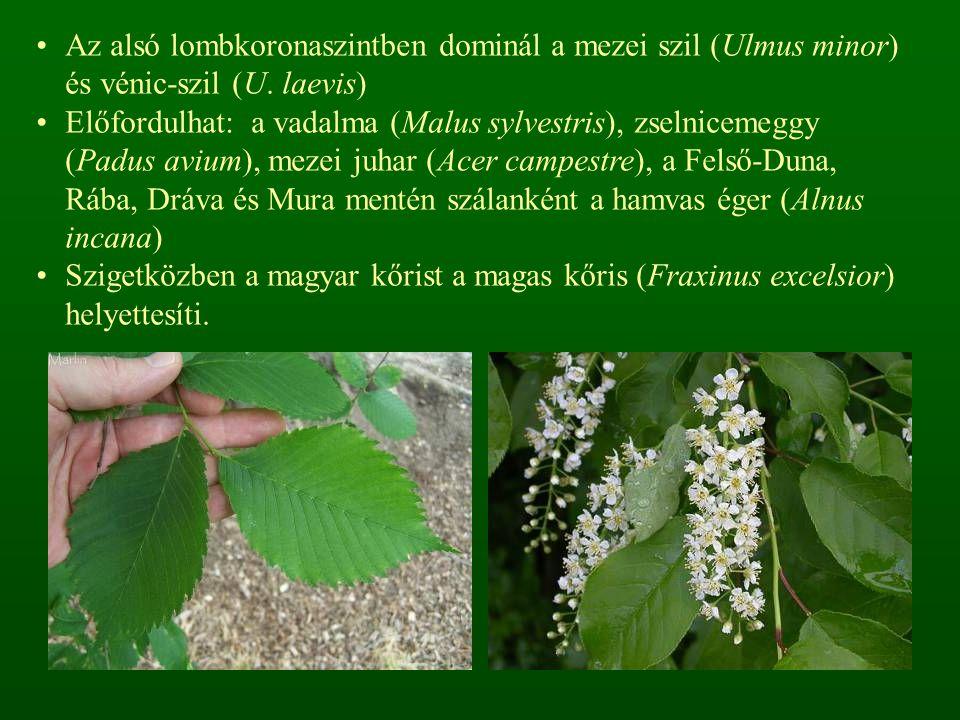 Az alsó lombkoronaszintben dominál a mezei szil (Ulmus minor) és vénic-szil (U. laevis)