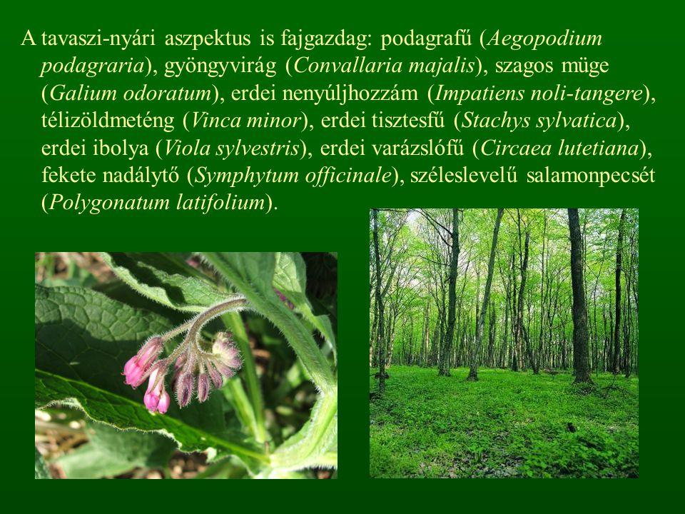 A tavaszi-nyári aszpektus is fajgazdag: podagrafű (Aegopodium podagraria), gyöngyvirág (Convallaria majalis), szagos müge (Galium odoratum), erdei nenyúljhozzám (Impatiens noli-tangere), télizöldmeténg (Vinca minor), erdei tisztesfű (Stachys sylvatica), erdei ibolya (Viola sylvestris), erdei varázslófű (Circaea lutetiana), fekete nadálytő (Symphytum officinale), széleslevelű salamonpecsét (Polygonatum latifolium).