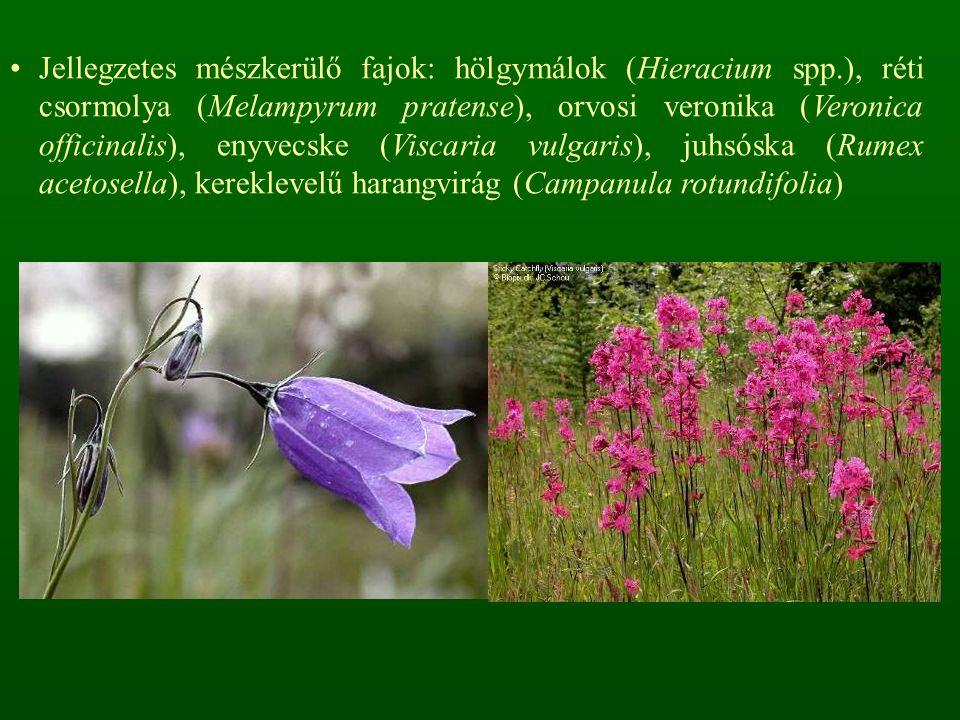 Jellegzetes mészkerülő fajok: hölgymálok (Hieracium spp