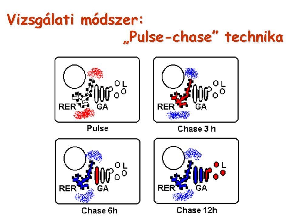 """Vizsgálati módszer: """"Pulse-chase technika"""