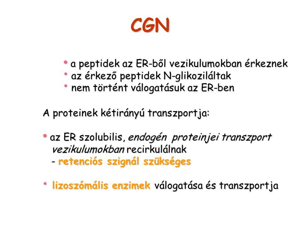 CGN a peptidek az ER-ből vezikulumokban érkeznek
