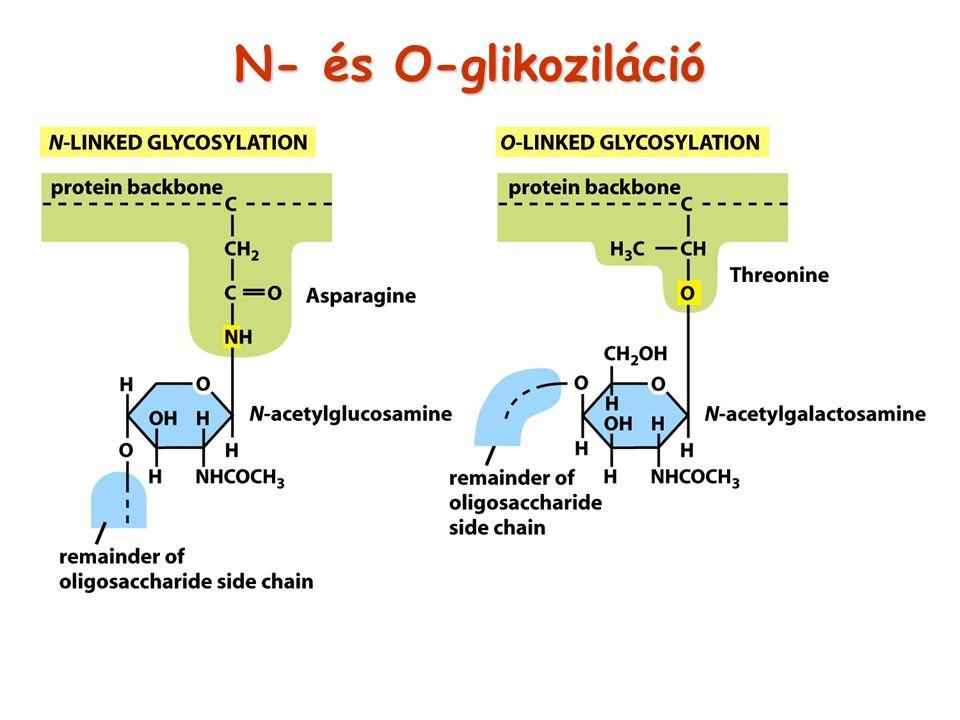 N- és O-glikoziláció