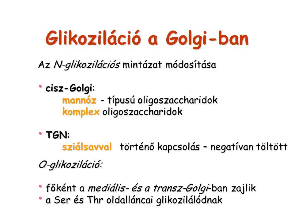 Glikoziláció a Golgi-ban