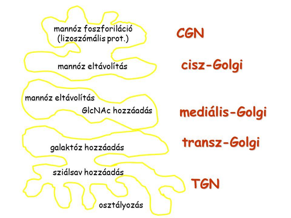 CGN cisz-Golgi mediális-Golgi transz-Golgi TGN mannóz foszforiláció