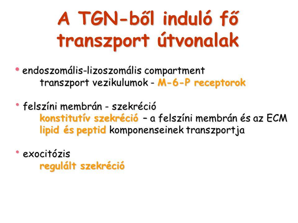 A TGN-ből induló fő transzport útvonalak