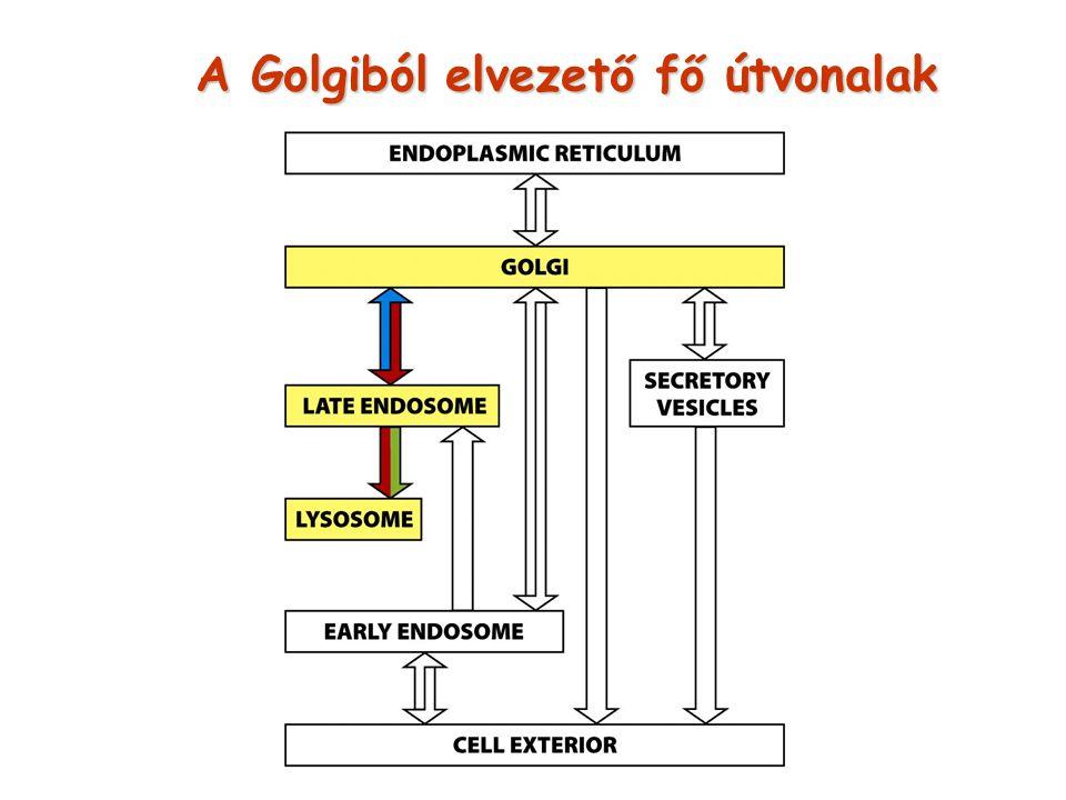 A Golgiból elvezető fő útvonalak