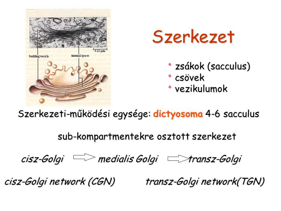 Szerkezet zsákok (sacculus) csövek vezikulumok