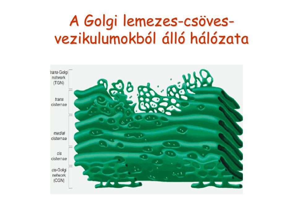 A Golgi lemezes-csöves-vezikulumokból álló hálózata