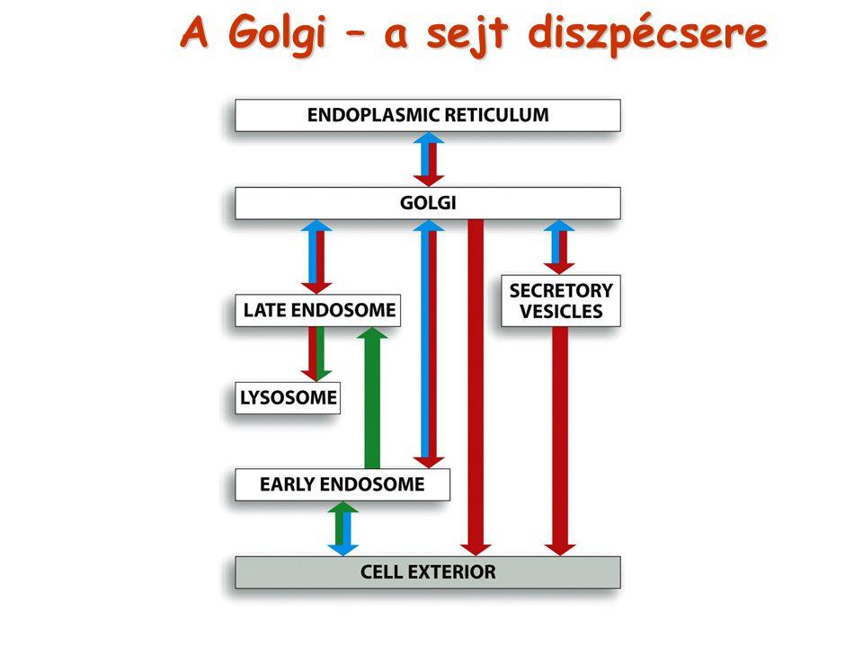 A Golgi – a sejt diszpécsere