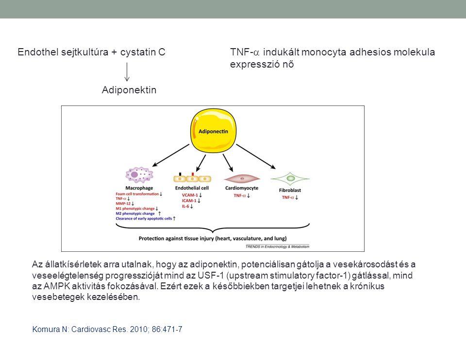 Endothel sejtkultúra + cystatin C