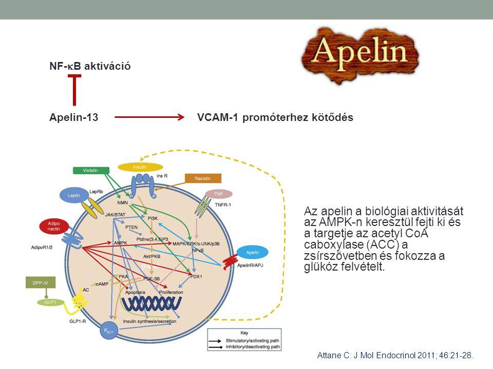 NF-B aktiváció Apelin-13. VCAM-1 promóterhez kötődés.