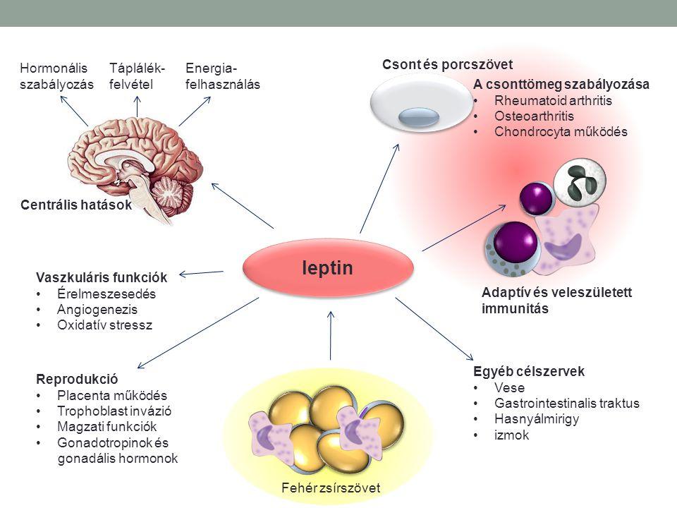 leptin Hormonális szabályozás Táplálék- felvétel Energia- felhasználás