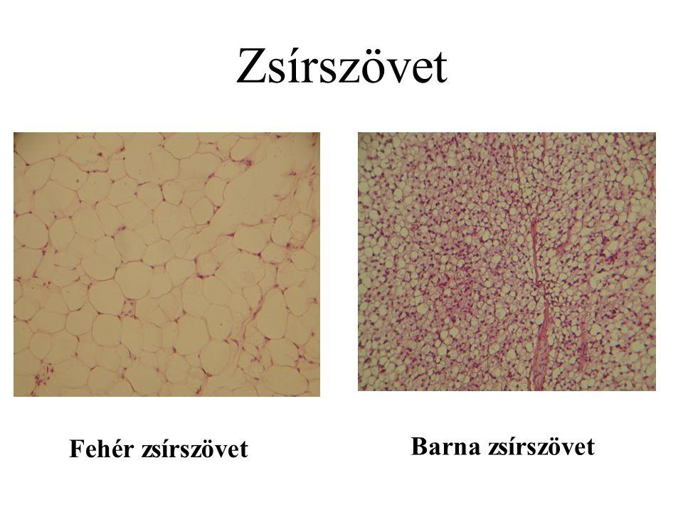 Zsírszövet Fehér zsírszövet Barna zsírszövet