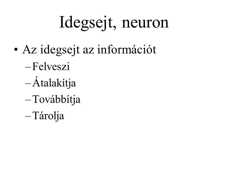 Idegsejt, neuron Az idegsejt az információt Felveszi Átalakítja