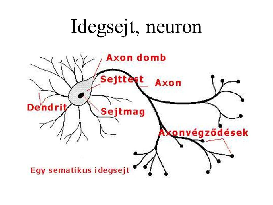 Idegsejt, neuron