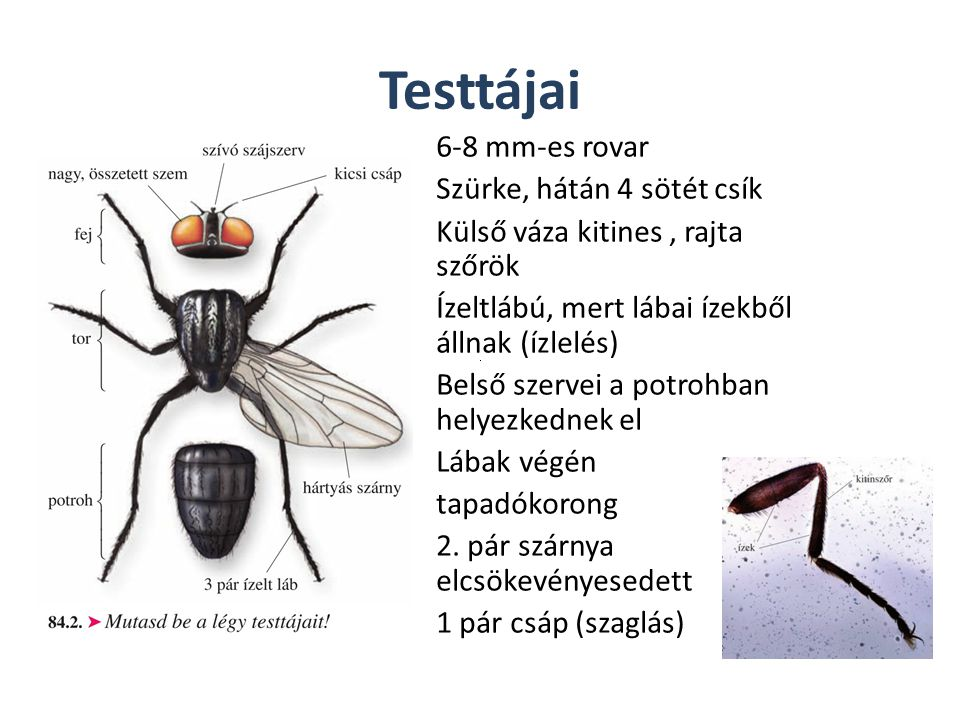 Testtájai 6-8 mm-es rovar Szürke, hátán 4 sötét csík