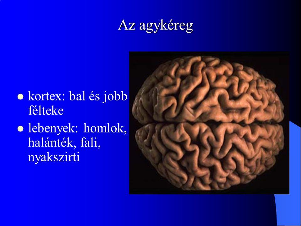 Az agykéreg kortex: bal és jobb félteke