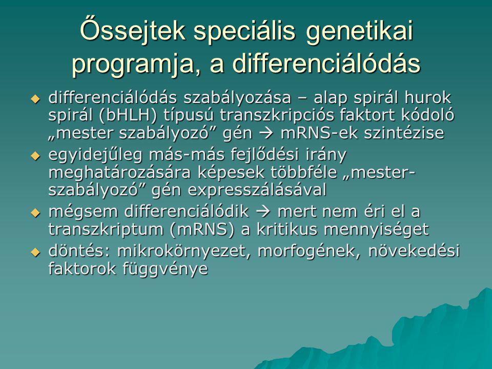 Őssejtek speciális genetikai programja, a differenciálódás